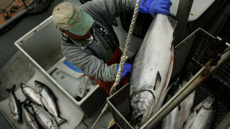 Los primeros salmones Chinook fueron introducidos en los 70.