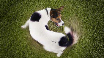 ¿por que los perros se muerden la cola?