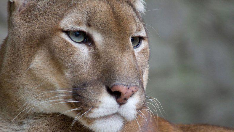 Conmoción por la matanza de pumas en Chubut