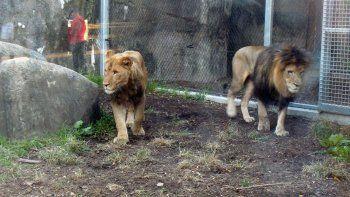 leona asesino a su macho