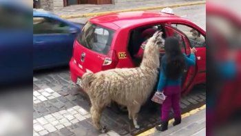 insolito: una llama toma un taxi en una ciudad peruana