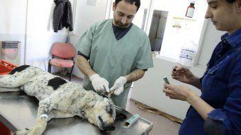 tatuaran a perros callejeros castrados por la muni