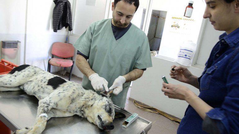 Tatuarán a los perros callejeros que estén castrados por la Muni