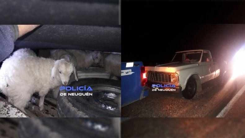 Recuperan veinte cabras robadas que llevaban en una camioneta