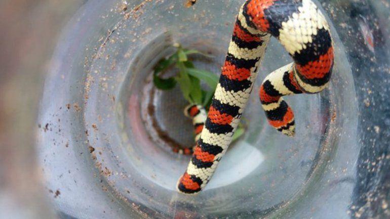 Susto por una serpiente falsa coral que apareció en una casa