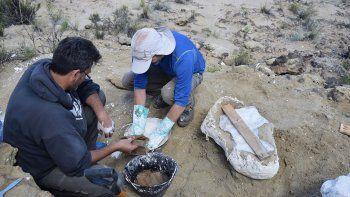 rescataron partes de un sauropodo hallado en senillosa