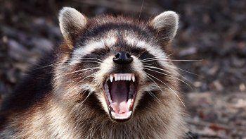 mapaches ebrios causaron panico: parecian rabiosos