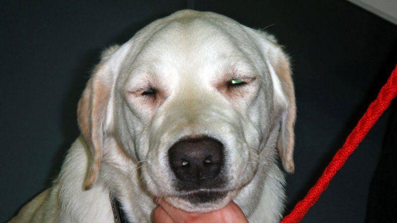 Las cataratas, un mal común en los perros pero que tiene solución
