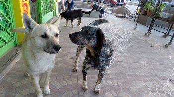 se rescatan cinco perros perdidos por dia en la ciudad