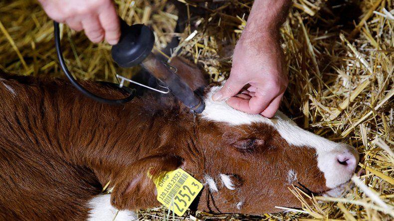 Suiza votó para que les sigan cortando los cuernos a las vacas