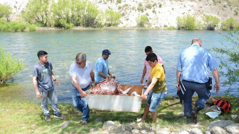 Robaron un novillo de un colegio albergue y lo faenaron al lado del río