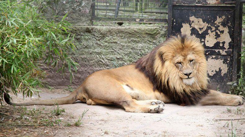 Dos leones que estaban en un zoo serán liberados