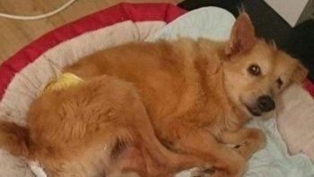 rescatan a perro que fue abusado durante 5 anos
