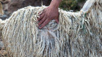exitosa venta de lana mohair a los mercados turcos