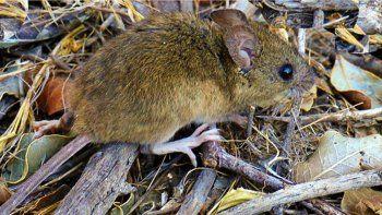 roedores en la cordillera: el fenomeno esta en su etapa final
