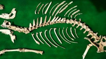 hallaron el esqueleto de un ciervo que se extinguio