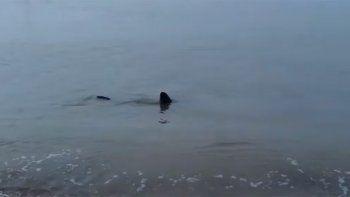 tiburon fue grabado mientras nadaba en la orilla