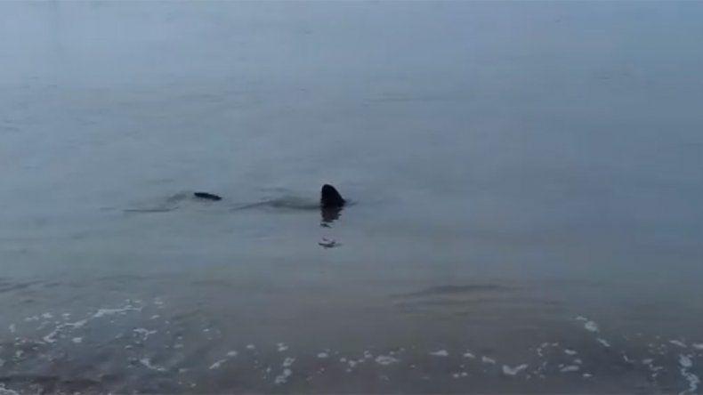 Video: tiburón fue grabado mientras nadaba en la orilla en Santa Clara