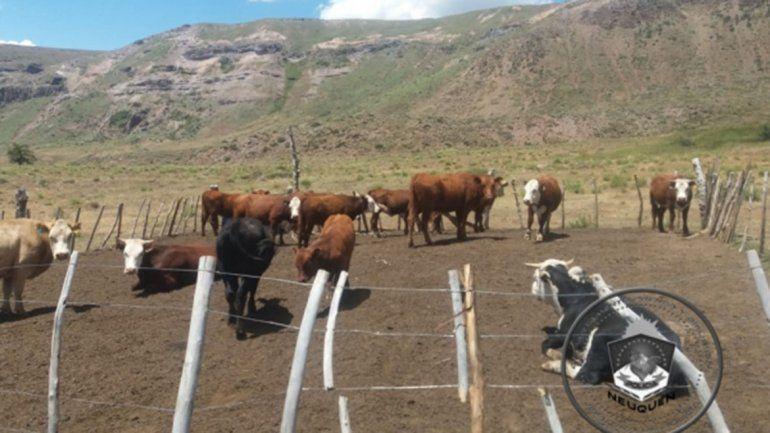 Recuperan siete vacas robadas a un criancero hace dos meses