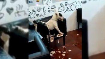 un perro se puso loco en la heladeria y fue detenido