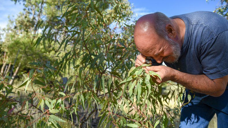 Plaga australiana azota a los eucaliptos de la región