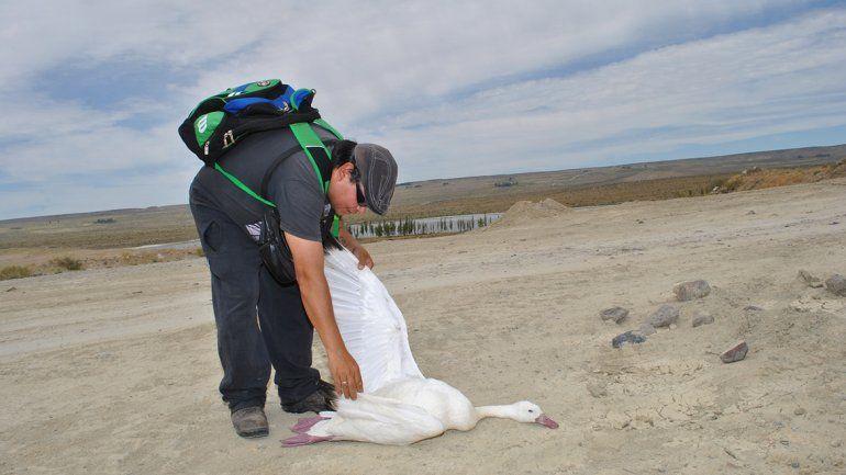 Preocupa la muerte de coscorobas cerca de la laguna La Solitaria