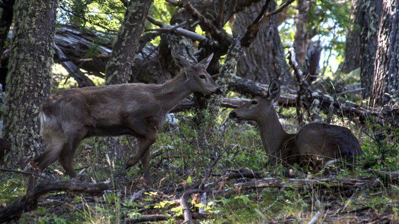 Dos ejemplares de huemul fueron hallados en Los Glaciares