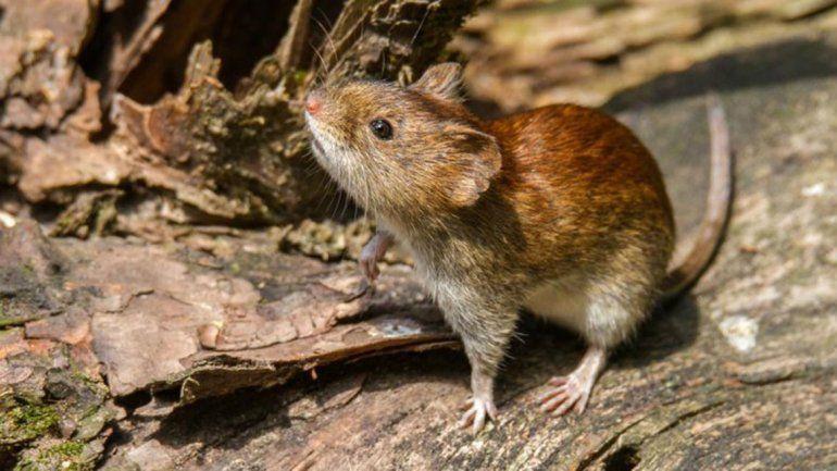 Recomiendan tomar precauciones ante el incremento de roedores