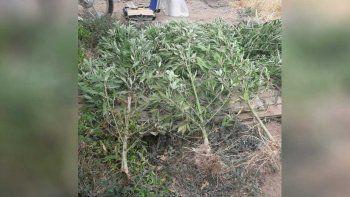 allanan 3 casas por un robo y secuestran 9 plantas de marihuana