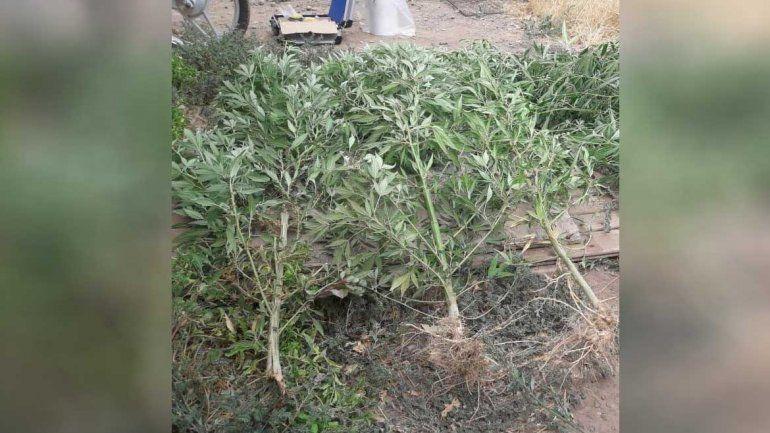 Allanaron tres casas por un robo y secuestraron nueve plantas de marihuana