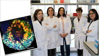 en dos semanas, crearon minirrinones  con celulas madre