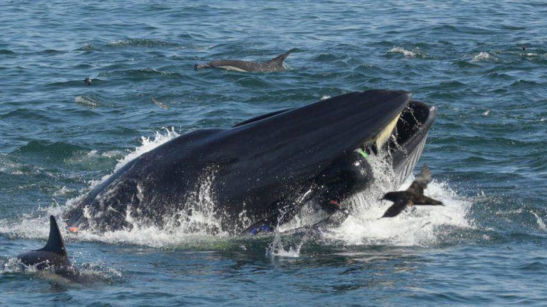 Milagro: ballena se tragó a un buzo y después lo escupió