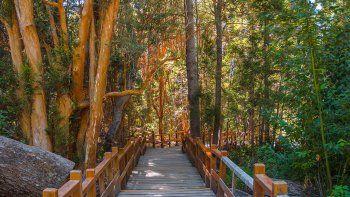 reforestaron el parque nacional los arrayanes