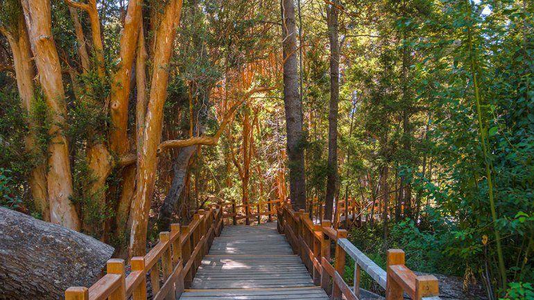 Los arrayanes pintan el bosque y regalan su magia