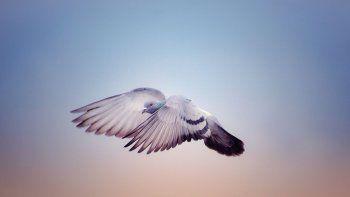 usan palomas para estudiar la contaminacion en el aire