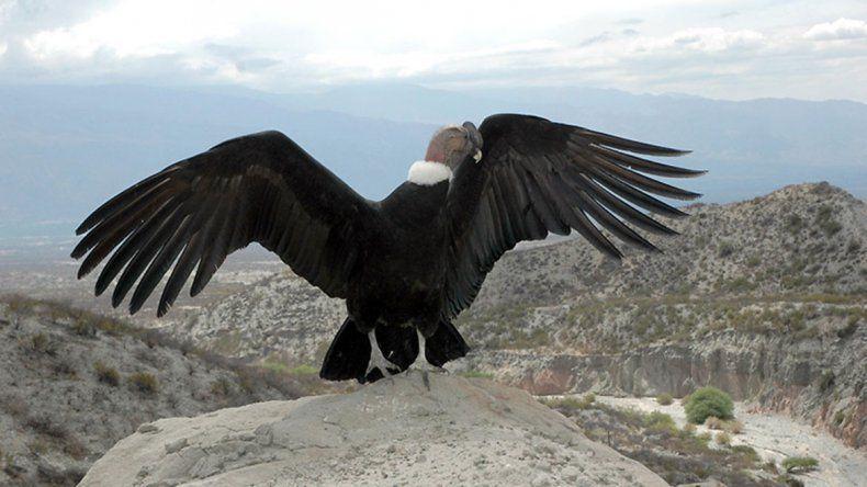 Rehabilitan y devuelven a su hábitat a un cóndor andino