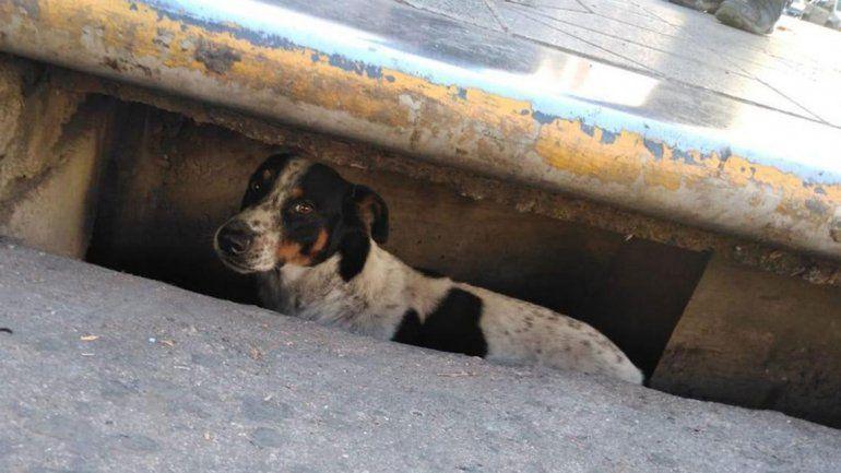 Un perrito pasó tres días atrapado en una boca de tormenta