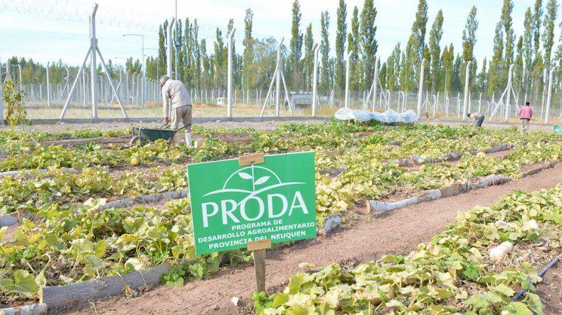 En las huertas de la ciudad prueban producir stevia