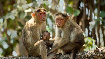 chinos implantan genes cerebrales humanos en monos