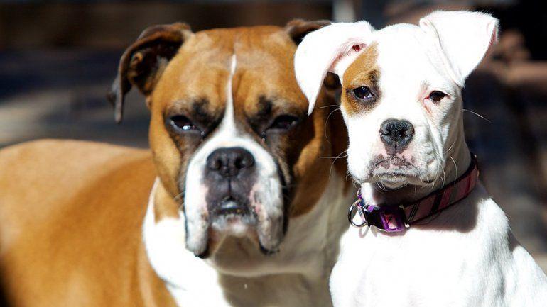 Los perros grandes tienen más memoria