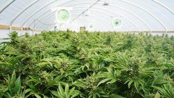 descubrieron una granja gigante con marihuana