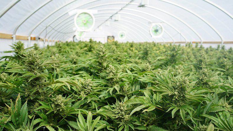 Marihuana experimental en la Patagonia: las claves del proyecto del INTA