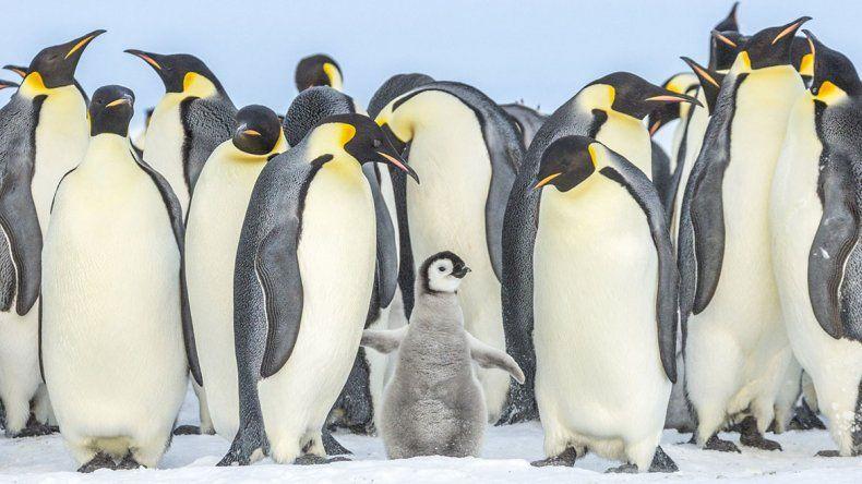 Antártida: se ahogan miles de pingüinos por culpa del deshielo