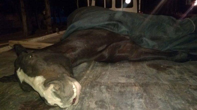 La yegua que murió en plena carrera tenía una gran cantidad de drogas en su sistema