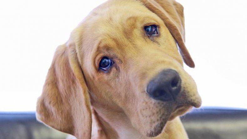 Qué es el síndrome vestibular canino