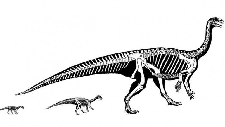 Revelan que un dinousario patagónico gateaba en el inicio de su vida