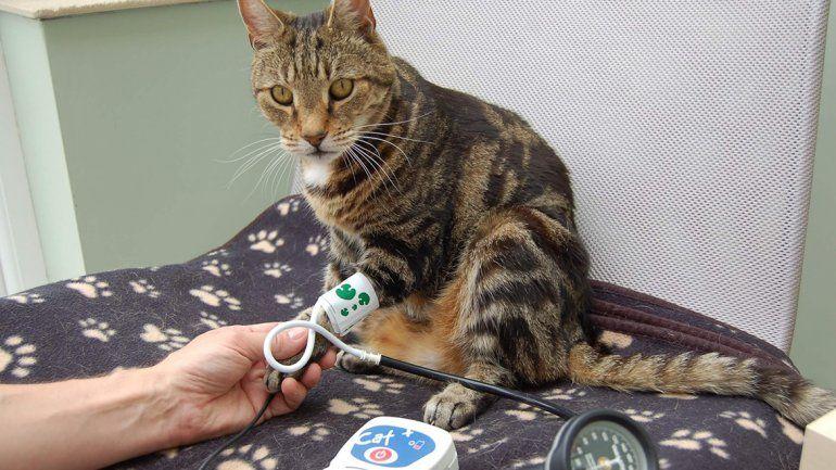 Hipertensión felina, un mal en aumento
