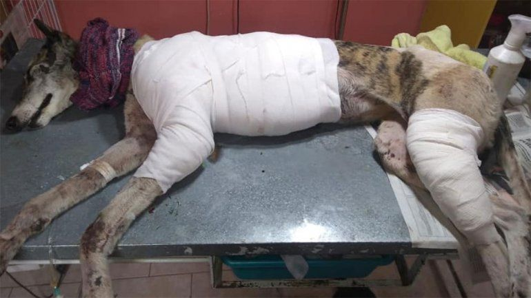 Arrastraron una perra por la ruta chica y la abandonaron: ahora pelea por su vida