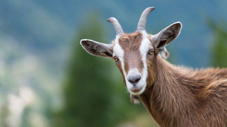 El extraño nacimiento de una cabra con forma humana que conmociona a Santiago del Estero