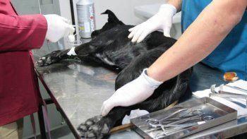 castrar perros ya marco un record alentador en centenario